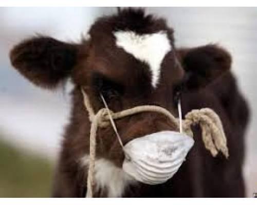 Заразний вузликовий дерматит великої рогатої худоби